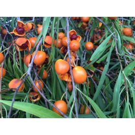 0c59789d4 Gumby Gumby ( Pittosporum augustifolium ) 100 Vegetarian Capsules x 270 mg.