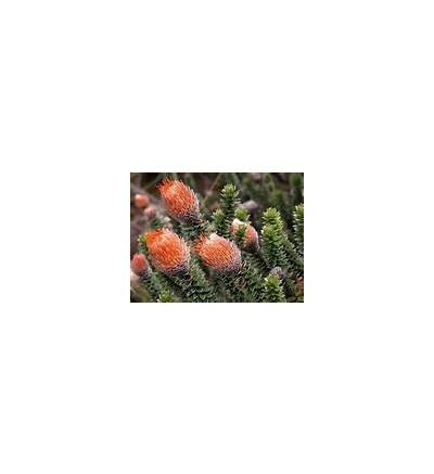 Huamanpinta (120 Capsule x 500 mg)
